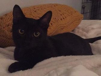 Domestic Shorthair/Domestic Shorthair Mix Cat for adoption in Gainesville, Florida - Angus