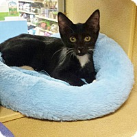 Domestic Shorthair Kitten for adoption in Kalamazoo, Michigan - Easter - PetSmart