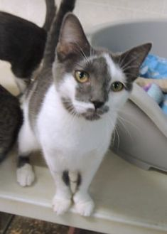 Domestic Shorthair/Domestic Shorthair Mix Cat for adoption in Westville, Indiana - Jack