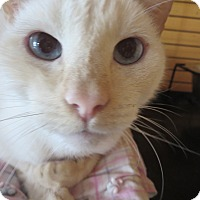 Adopt A Pet :: Tony the tiger - Coos Bay, OR