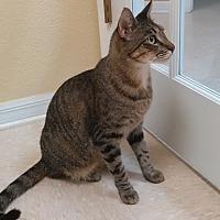 Adopt A Pet :: Hobbes - Tampa, FL