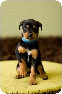 Rottweiler Mix Puppy for adoption in Portland, Oregon - Kacie