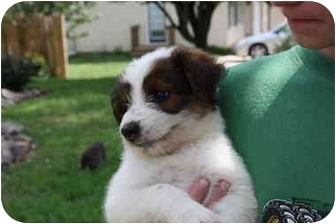 Schnauzer (Standard)/Cairn Terrier Mix Puppy for adoption in Prince William County, Virginia - Lil bear