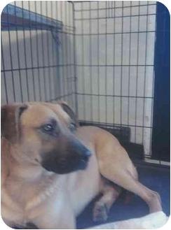 Bullmastiff/Shepherd (Unknown Type) Mix Dog for adoption in Everman, Texas - Goliath