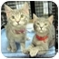 Photo 3 - Domestic Shorthair Kitten for adoption in Overland Park, Kansas - Renna & Remus