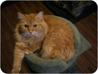Domestic Longhair Cat for adoption in Byron Center, Michigan - Cowboy