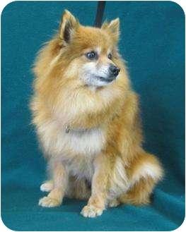 Pomeranian Dog for adoption in Kansas City, Missouri - Misty