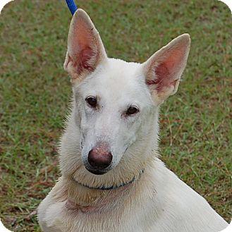 German Shepherd Dog Mix Dog for adoption in Preston, Connecticut - Destiney
