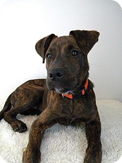 Labrador Retriever/Boxer Mix Puppy for adoption in Monteregie, Quebec - Hudson