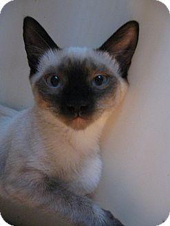 Siamese Kitten for adoption in Brea, California - Vienna