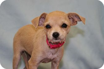 Cairn Terrier Mix Puppy for adoption in Westminster, Colorado - Sweetie