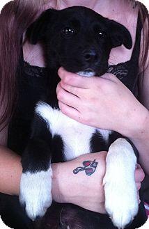 Border Collie Mix Puppy for adoption in Seattle, Washington - Milo