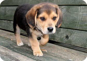 Beagle Mix Puppy for adoption in Salem, New Hampshire - PUPPY GIZZY