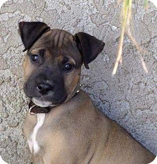 Boxer/German Shepherd Dog Mix Puppy for adoption in Torrance, California - LEO