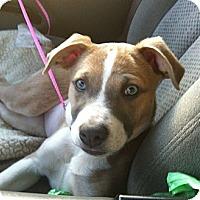 Adopt A Pet :: Maci ACCEPTING ADOPTION APPS - Sacramento, CA