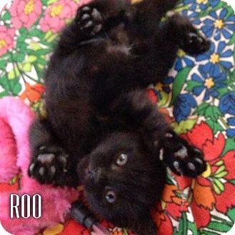 Domestic Shorthair Kitten for adoption in Great Neck, New York - ROO