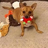 Chihuahua Mix Dog for adoption in Phoenix, Arizona - BROPHY