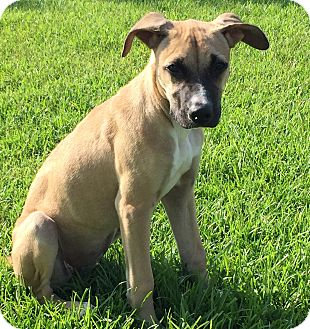 Boxer/Shepherd (Unknown Type) Mix Puppy for adoption in East Windsor, Connecticut - Tasha-adoption in progress