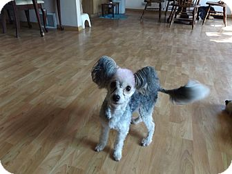 Chinese Crested Dog for adoption in Rosemount, Minnesota - Pixie