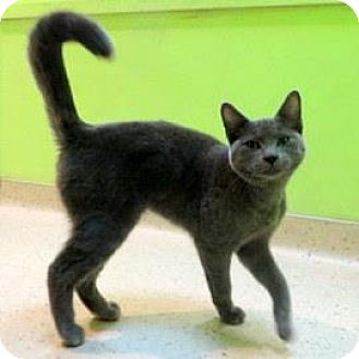 Domestic Shorthair Cat for adoption in Janesville, Wisconsin - Smokey Bear