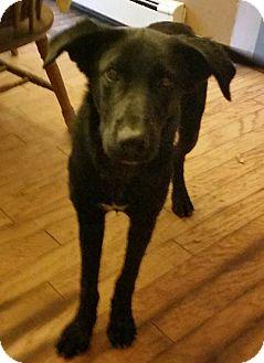 Labrador Retriever Mix Puppy for adoption in Jay, Maine - Happy