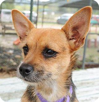 Cairn Terrier Mix Dog for adoption in Bulverde, Texas - Claudette