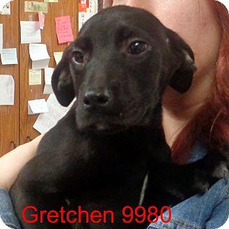 Labrador Retriever Mix Puppy for adoption in Greencastle, North Carolina - Gretchen