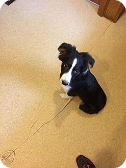 Australian Shepherd Mix Puppy for adoption in Salem, Ohio - Khloe