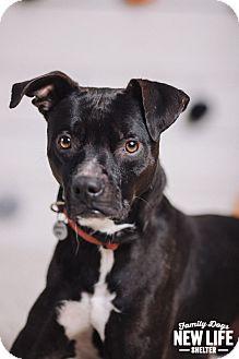 Labrador Retriever/Pit Bull Terrier Mix Dog for adoption in Portland, Oregon - Garfield