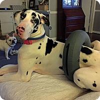 Adopt A Pet :: Calliope - Manassas, VA