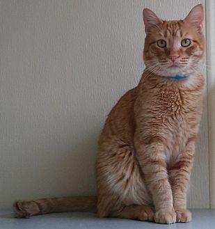 Domestic Shorthair Cat for adoption in Dallas, Texas - MEMITO