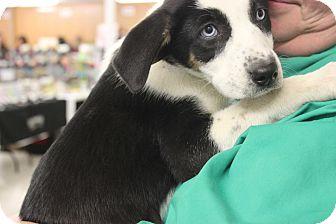 St. Bernard/Labrador Retriever Mix Puppy for adoption in Regina, Saskatchewan - Anya