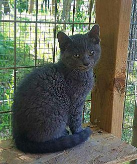Domestic Shorthair Kitten for adoption in Minot, North Dakota - Charlotte