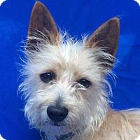 Adopt A Pet :: Brillie - San Francisco, CA