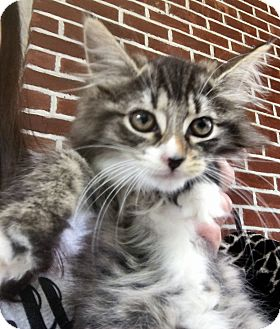 Domestic Longhair Kitten for adoption in River Edge, New Jersey - Harmony
