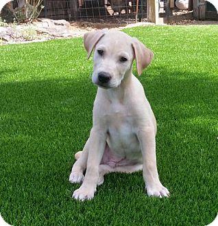 Labrador Retriever Puppy for adoption in Denton, Texas - Astro