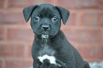 Labrador Retriever/Border Collie Mix Puppy for adoption in Allentown, Pennsylvania - Jorah