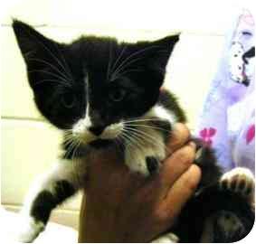 Domestic Shorthair Kitten for adoption in Walker, Michigan - Petrie