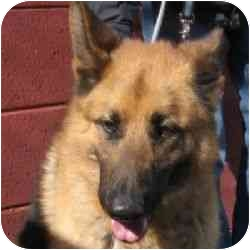 German Shepherd Dog Dog for adoption in Berkeley, California - Bear