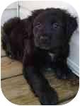 Cocker Spaniel/Labrador Retriever Mix Puppy for adoption in Fenton, Missouri - BLACK CUTIE