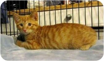 Domestic Shorthair Kitten for adoption in Colmar, Pennsylvania - Dodger