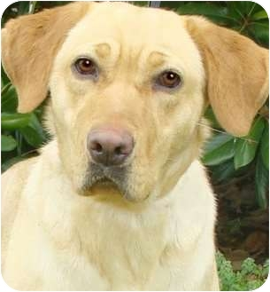 Labrador Retriever Dog for adoption in Pawling, New York - DAISY