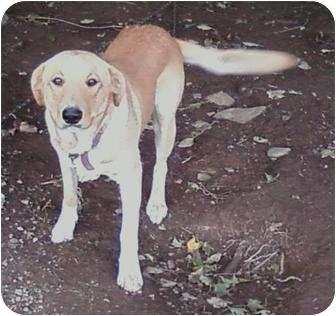 Labrador Retriever/Collie Mix Dog for adoption in Conesus, New York - Buddy