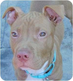 American Bulldog/American Staffordshire Terrier Mix Puppy for adoption in Berea, Ohio - Diesel
