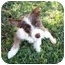 Photo 1 - Terrier (Unknown Type, Small) Mix Dog for adoption in Bellflower, California - Violet