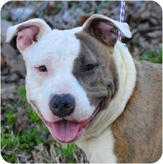 American Pit Bull Terrier Mix Dog for adoption in Hillsborough, New Jersey - Champagne