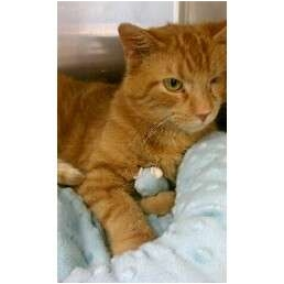 Domestic Shorthair Cat for adoption in Orland Park, Illinois - Willy