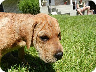 Labrador Retriever/Shar Pei Mix Puppy for adoption in South Jersey, New Jersey - Honey