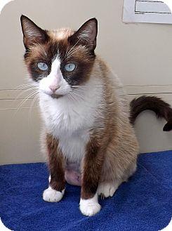 Snowshoe Cat for adoption in San Pedro, California - Cleopatra