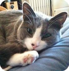 Domestic Shorthair Cat for adoption in Medford, Massachusetts - Jozy
